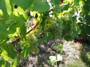 Vignes Guerinot et raisins